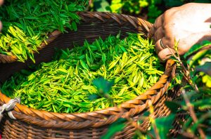Health benefits of drinking loose leaf tea